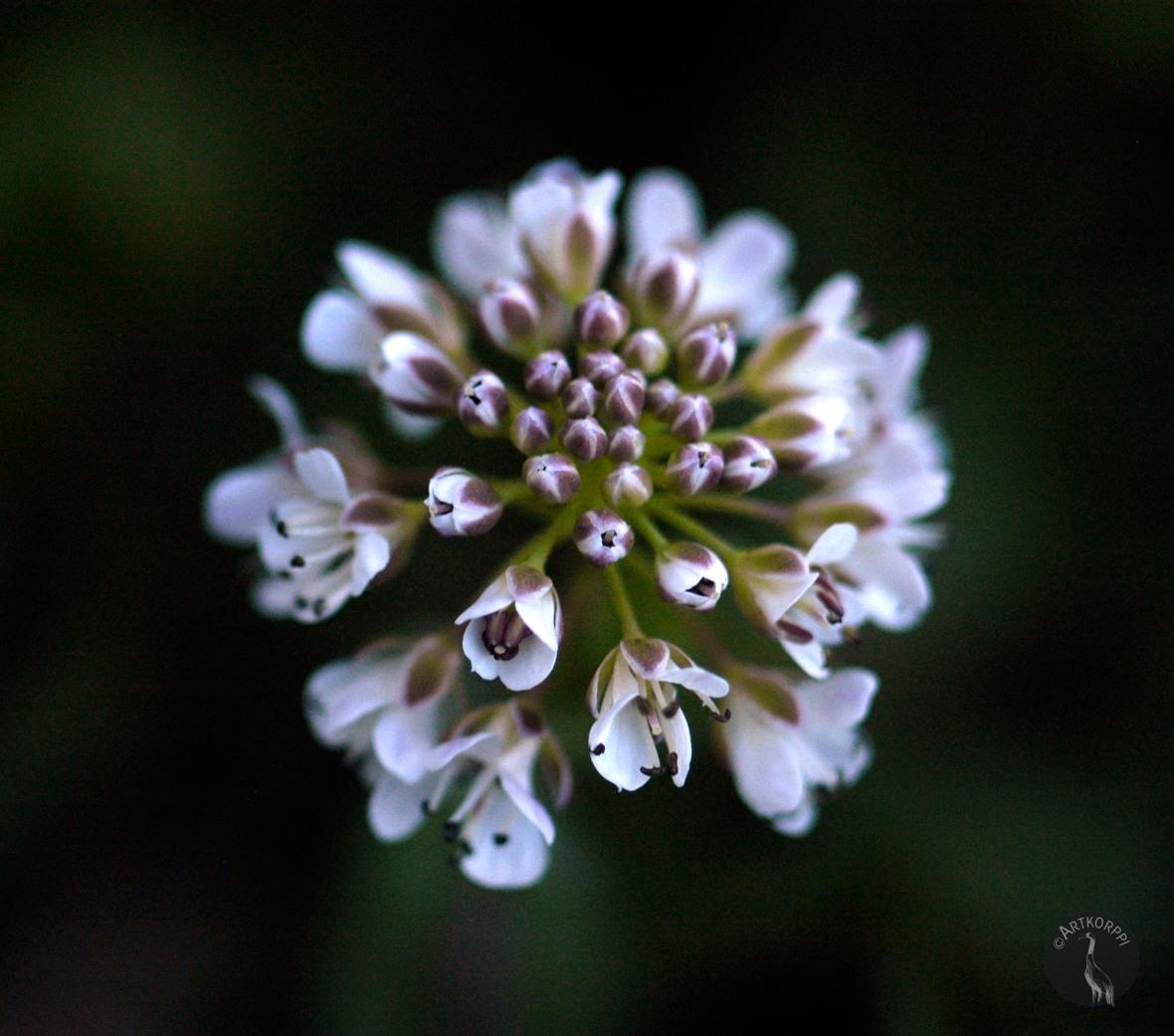 Kevättaskuruoho. Alpine Pennygrass.