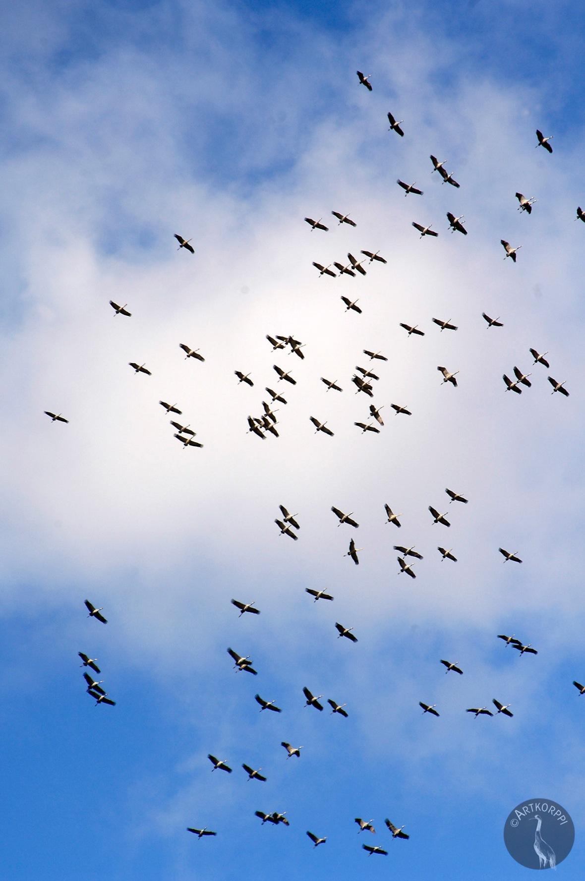 birds_cranes