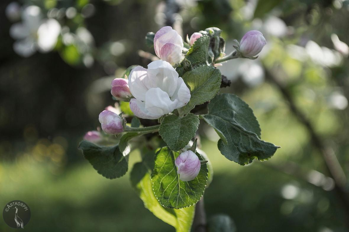 omenannuppuja_0050p