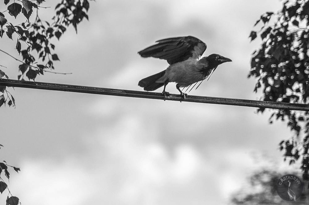artkorppi_com_crow